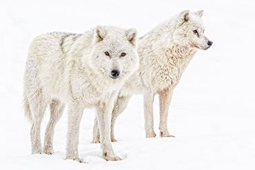 Wolf couple on hunting