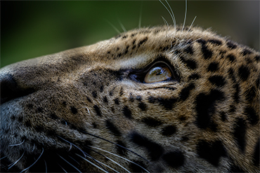 leopard cub looking up