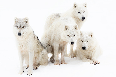 Wolves family nature snow