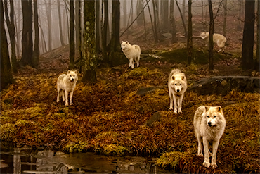 wolf pack woods fog nature wildlife
