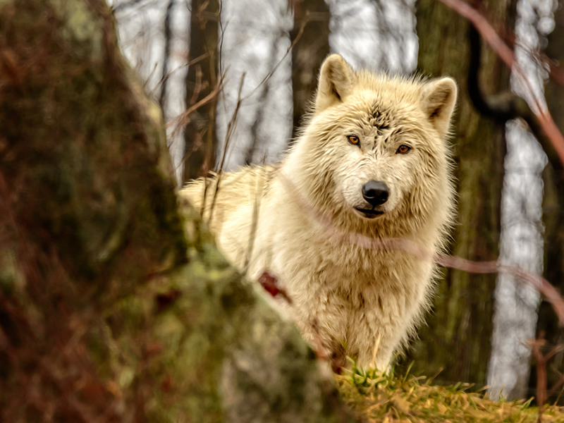 wolf white animal wildlife nature
