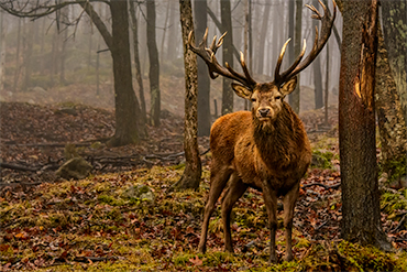 red deer in wood