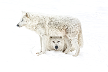 white wolf protection in snow