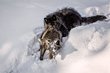 black wolves in snow