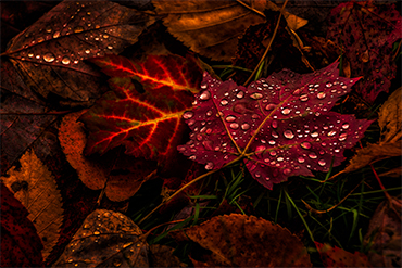 leaf ruby red nature