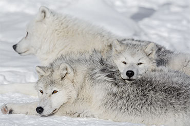 Family wolves wildlife nature cubs