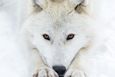white wolf eyes snow wildlife