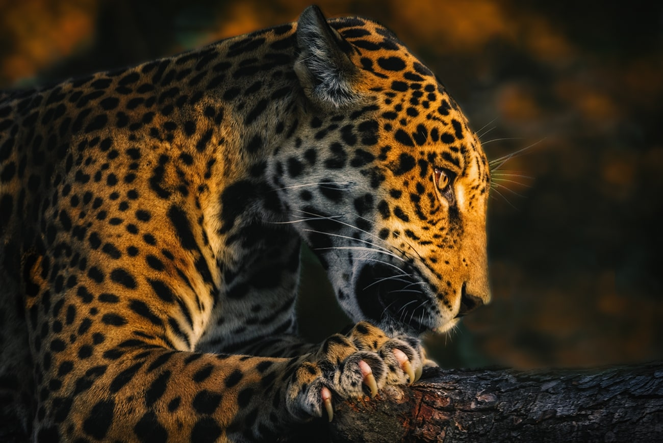 young jaguar on a branch